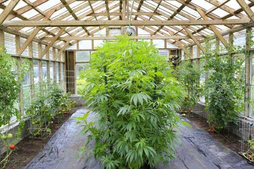 Cuidados de una Planta de Marihuana - Pistilos Marihuana Marrones