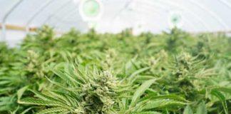 como plantar marihuana en algodón