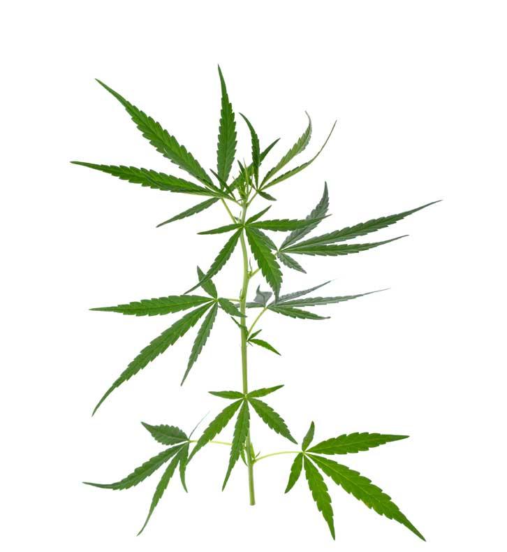 Los beneficios de la Planta de Marihuana
