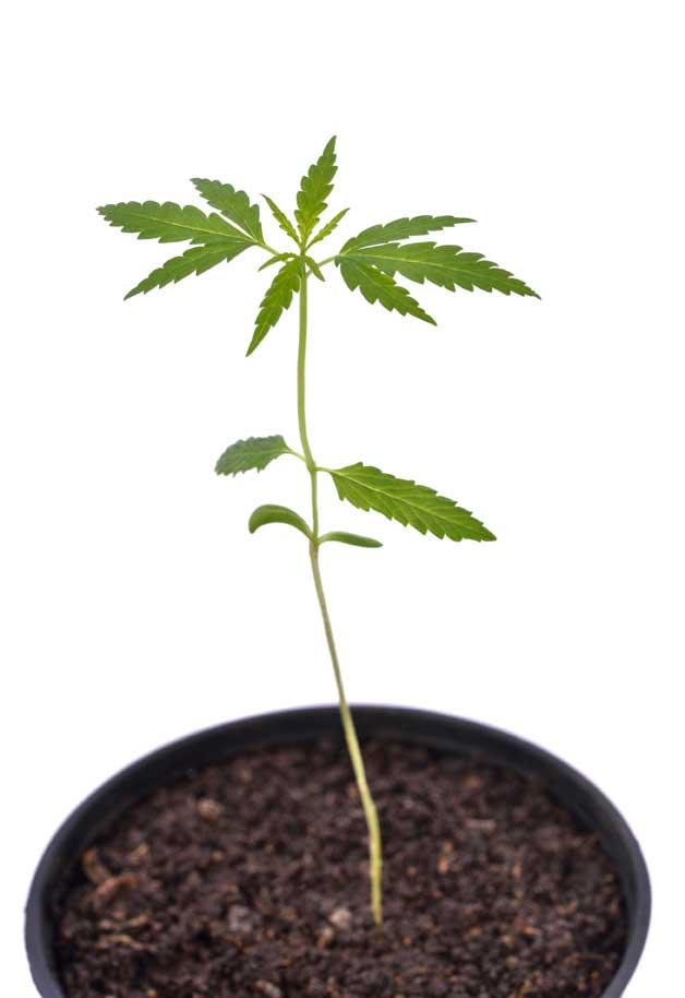 Beneficios y propiedades de la planta de marihuana