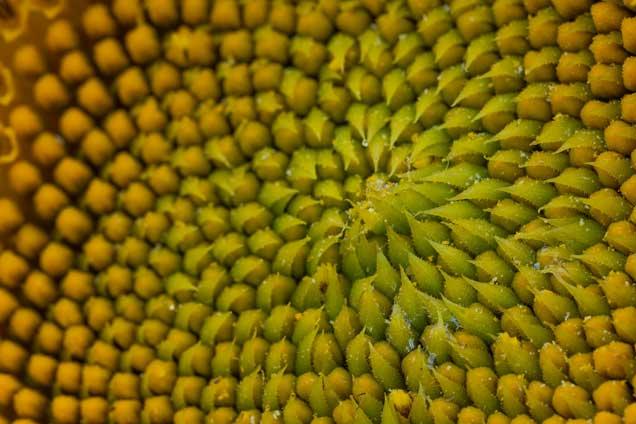 Propiedades de la Semilla de Girasol sin Cascara - Pipas Semillas de Girasol