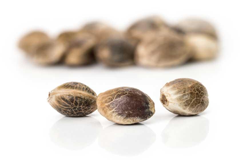 semillas de marihuana autoflorecientes