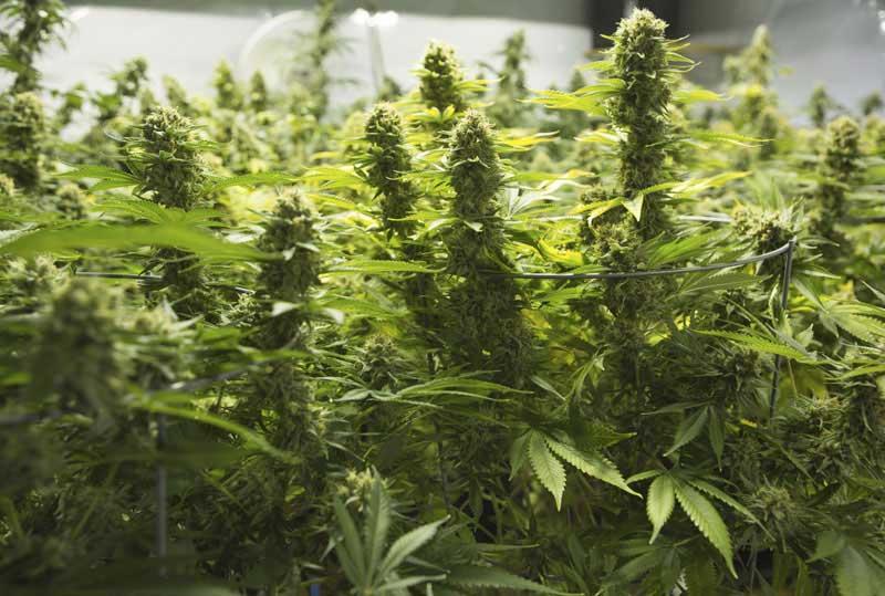 Cultivo de Plantas de Marihuana
