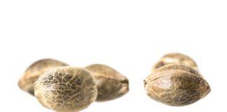 Las Mejores Semillas de Marihuana Sativas de DNA Genetics
