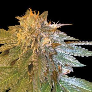 LA Confidencial una de las mejores semillas de marihuana