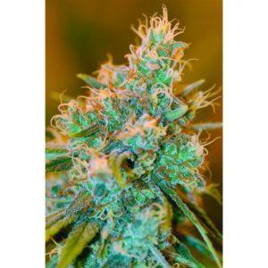 Una de las mejores semilla de marihuana de DNA Genetics
