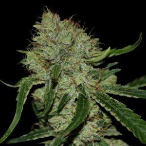 Tangilope una de las mejores plantas de marihuana sativas