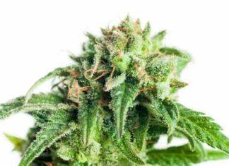 La marihuana el Negocio del futuro