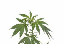 thc el cbd en la marihuana