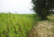 Marihuana el cultivo más rentable del mundo