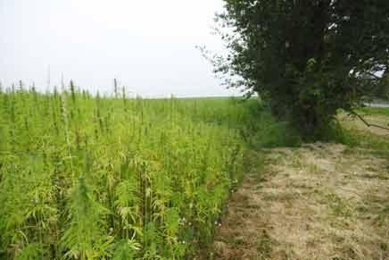 La Mayor Plantación de Marihuana del Mundo - El Cultivo del Futuro la Marihuana