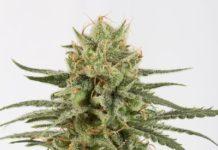 Semillas de Marihuana Amnesia CBD