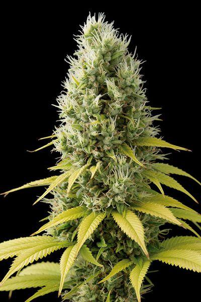semillas de Marihuana Shark Shock CBD de Dinafem