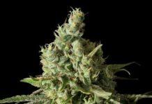 semillas de marihuana Moby Dick CBD