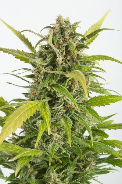 semillas de mairhuana Haze Autofowering CBD