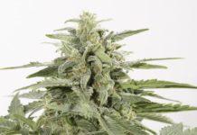 semillas de marihuana Industrial Plant Autoflowering CBD