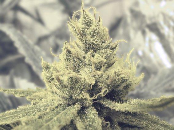 semilla de marihuana Y Griega