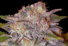 Semilla de Marihuana Caramelo de Delicious Seeds