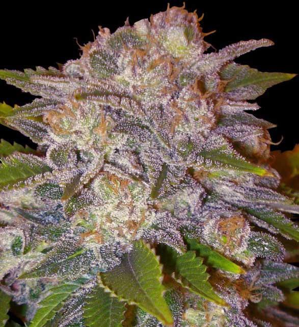Caramelo - Semilla de marihuana Caramelo de Delicious Seeds