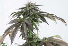 semillas de Marihuana Bubba Kush CBD de Dinafem Seeds