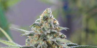 semilla de marihuana OG kush CBD de Dinafem Seeds