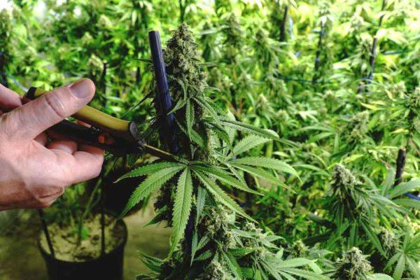 Cultivar Esquejes Marihuana - Esquejes de Marihuana en Exterior