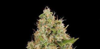 Semilla de Marihuana OG Kush Feminizada de Dinafem Seeds