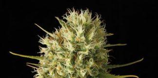 Semilla de Marihuana Original Amnesia de Dinafem Seeds