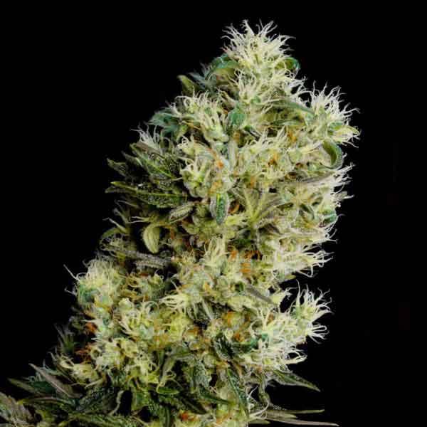 Semilla de marihuana Amnesia Bilbo Auto