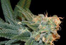 Semilla de marihuana Ese T Bilbo Auto