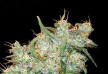 Semilla de marihuana Goxuak Auto