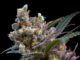 Semilla de Marihuana Kritikal Bilbo de Genehtik