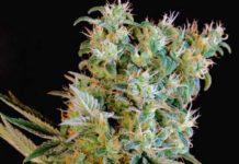 Semillas de marihuana Amnesia Bilbo de Genehtik