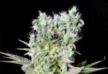 semilla de marihuana Northern Lights X