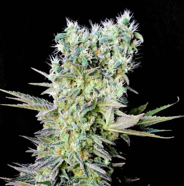 semilla de marihuana Northern Lights X