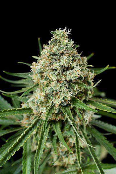 Semilla de Marihuana Critical + 2.0 de Dinafem Seeds