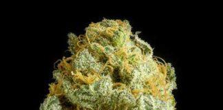 Semilla de Marihuana Critical Cheese de Dinafem Seeds