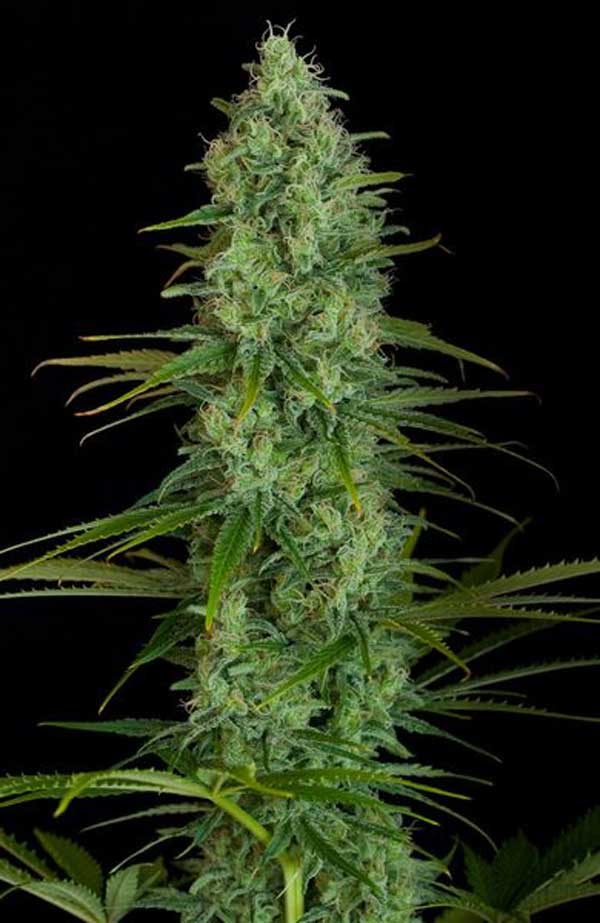 Semilla de Marihuana Critical Jack de Dinafem Seeds
