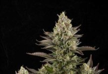 Semilla de Marihuana White Widow de Dinafem Seeds
