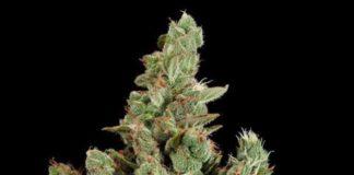 Semilla de Marihuana Cheese de Dinafem Seeds