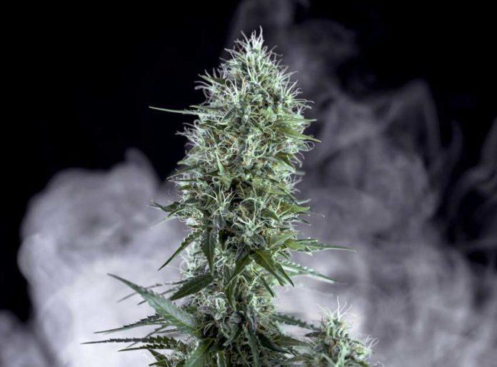 Semilla de Marihuana OG Lemon Bilbo de Genehtik