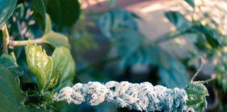 Cochinillas Enfermedades de la Marihuana