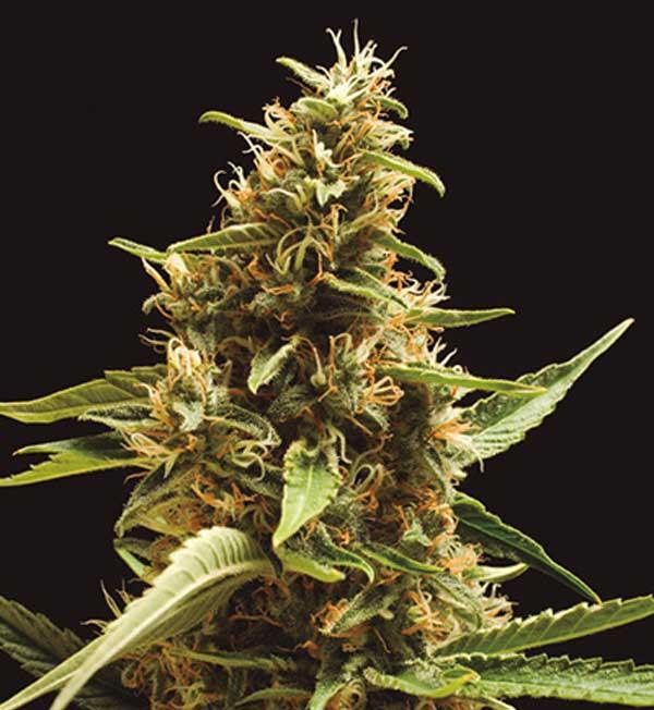 Semilla de Marihuana Galerna de Baskaly