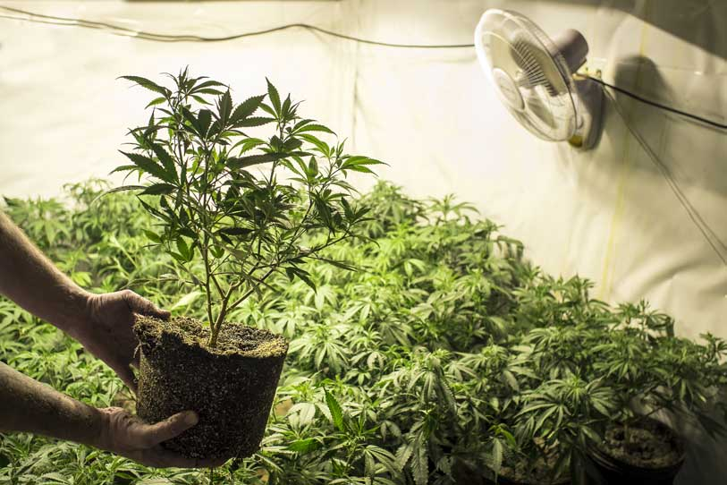 Cultivo de plantas de Marihuana en Interior de una Casa