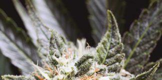 Semilla de Marihuana Little Haza de Baskaly
