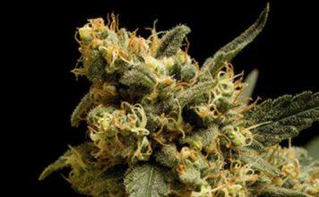 Semilla de Marihuana Mamba Nebra de Baskaly
