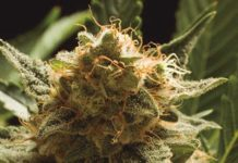 Semilla de Marihuana Wombat de Baskaly