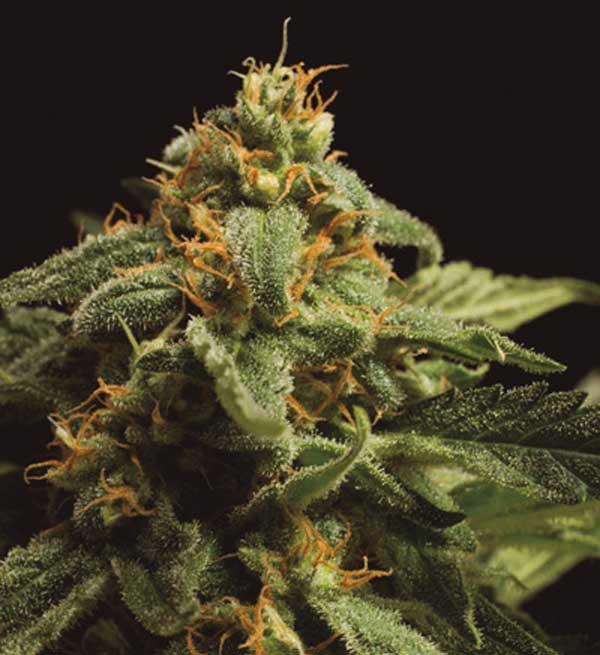 Semilla de Marihuana Guanabana de Baskaly