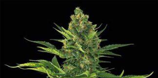 Semilla de Marihuana Amnesia XXL Auto de Dinafem Seeds