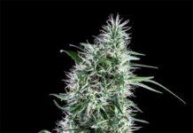 Semilla de Marihuana Santa Bilbo de Genehtik